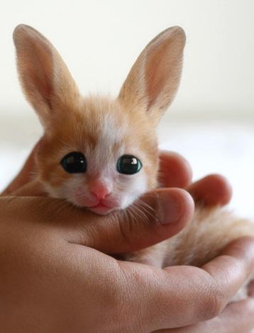 Фенек - миниатюрная лисичка