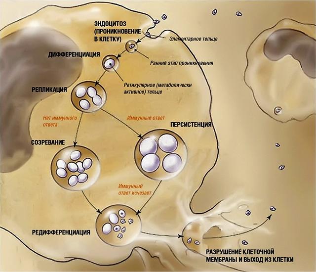 Разрушение клеточной мембраны и выход из клетки