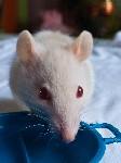 Вот такие мы красивые Крыса