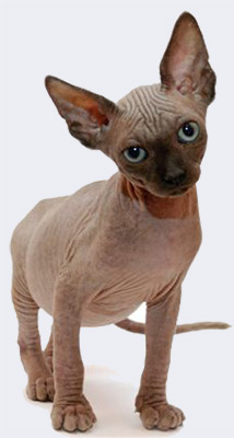 Лунные кошки. Сфинкс - донской, петерболд, канадский. О породе и прихотливости - Форум Сириус - Торез