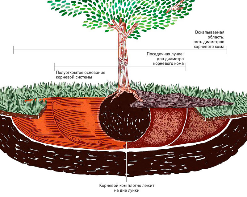Как посадить дерево?
