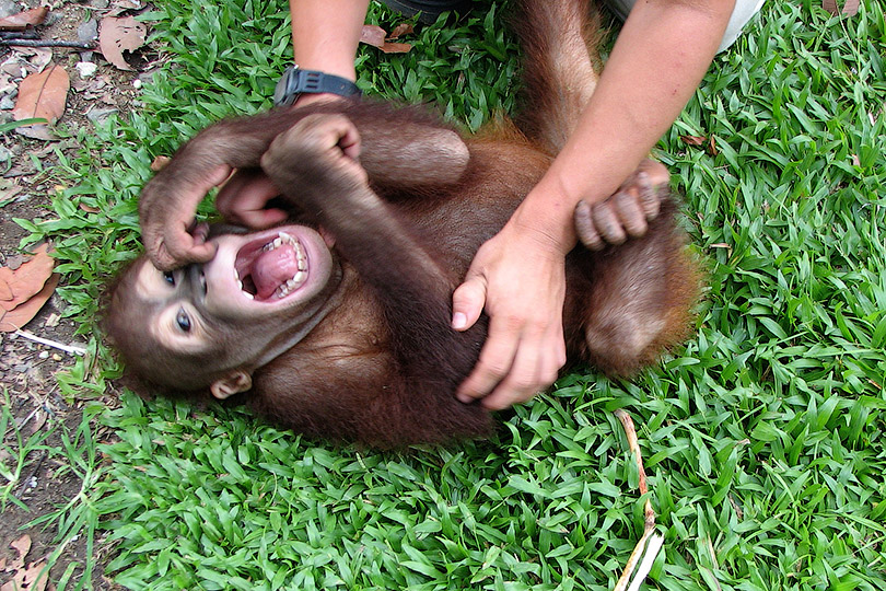 Животные тоже смеются - Почему мы смеемся? Гипотезы и исследования происхождения смеха - Форум Сириус - Торез