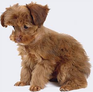 Современные миниатюрные собаки абсолютно бесполезны но крайне привлекательны - Друзья на заказ Породное творчество - Форум Сириус - Торез