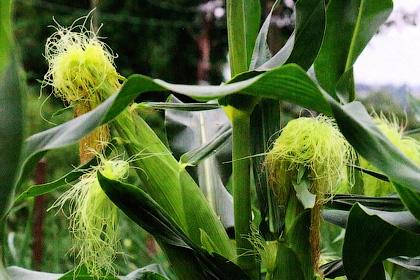 Овощная кукуруза - четыре степени сладости