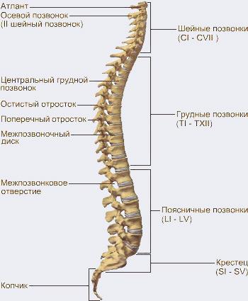 Не уверен - не поднимай! Как уберечь спину при поднятии тяжестей - Форум Сириус - Торез
