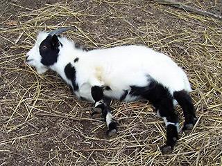 Кто такие обморочные козы? - А правда, что... - Умные ответы на глупые вопросы - Форум Сириус - Торез