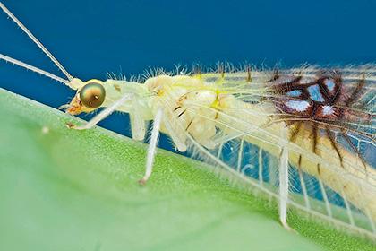 Золотые глаза. Уникальные насекомые найденные с помошью Интернет - Форум Сириус - Торез