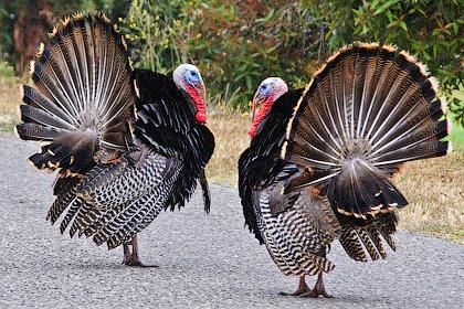 Индейки — крупные и сильные птицы - Процесс выращивания мяса индейки