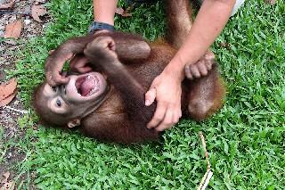 Животные тоже смеются Почему мы смеемся Гипотезы и исследования происхождения смеха