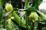 Овощная кукуруза   четыре степени сладости