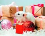 Как встречать год Крысы