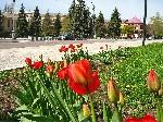 Тюльпаны на улице Пионерская Исполком Торез