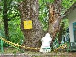 500 летний дуб в Лесной Республике  свидетель похода Богдана Хмельницкого Жёлтые воды